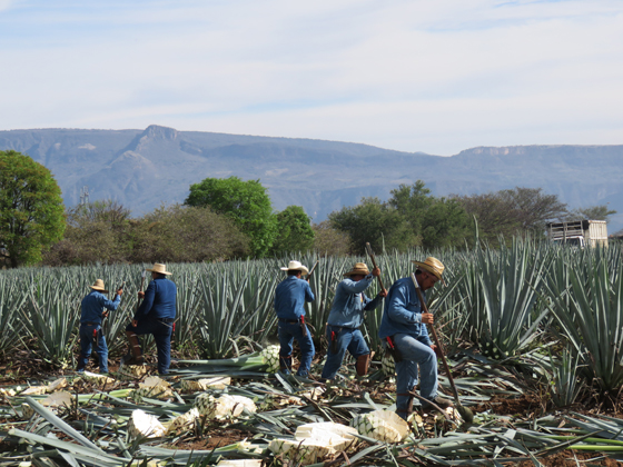 Jimadores cut and harvest the agave that becomes Herradura Tequila.
